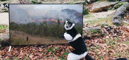Lémurien devant un écran (cliché de Marc MEISNER, licence CC)